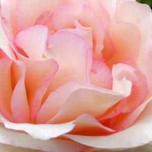 Rose_1500x600